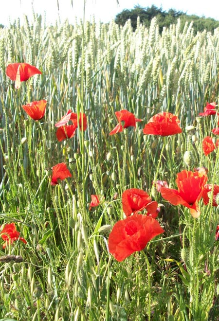 Brittany / Côtes d'Armor - Wheat & Poppies